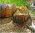 Zion Misc, Beaver Chew 5-1-14c (14221201788).jpg