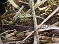 Zosterisessor ophiocephalus Istria2018 3932c.jpg