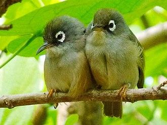 Mauritius olive white-eye - Wild specimen