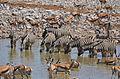 Zvířata v napajedlu v Okaukuejo, Etosha - Namibie - panoramio.jpg