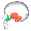Zygomaticotemporal suture - lateral view4.png
