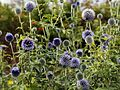 'Echinops ritro' Southern globethistle in the Walled Garden of Goodnestone Park Kent England 2.jpg