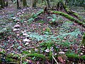 'Fairy ring' in the forest - geograph.org.uk - 274456.jpg