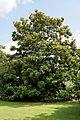 'Goliath' Magnolia grandiflora tree in flower at Goodnestone Park Kent England 2.jpg