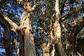 (1)Paperbark tree Centennial Park 101.jpg