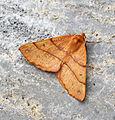 (1923) Feathered Thorn (Colotois pennaria) (22660195672).jpg