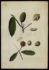 (Chrysophyllum e Dipteryx odorata, Wilh)