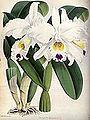 (The Orchid Album Plate 006) Cattleya morganae.jpg