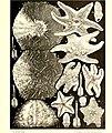 Échinodermes (astéries, ophiures et échinides) (1917) (20422474879).jpg
