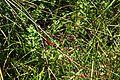 Λιβελούλη (Sympetrum flaveolum).jpg