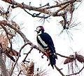 Большой пёстрый дятел - Dendrocopos major - Great spotted woodpecker - Голям пъстър кълвач - Buntspecht (32326803033).jpg