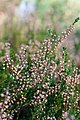 Верес звичайний ( Calluna vulgaris, Lat).jpg