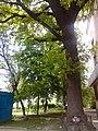 Віковий дуб, Прилуцький район, м. Прилуки, вул. Вокзальна, 36 74-107-5002 02.jpg