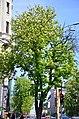 Вікові липи, ясени та каштани по вулиці Володимирській у Києві. Фото 1.jpg