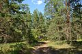 В сосновом лесу - panoramio (3).jpg