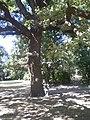 Дуб в Ботаническом саду г.Одесса. Август 2010г.jpg