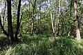 Заказник Чернеча. Вільхово-березовий ліс. Любарське л-во (кв.29). 26.06.2016.jpg