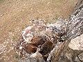 Негативний вплив антропогенних факторів. Пташенята канюка монгольского (Buteo hemilasius) народились у гнізді, побудованому із сміття.jpg