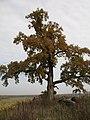 Осенний дуб. Октябрь 2008 года. Autumn oak-tree - panoramio.jpg