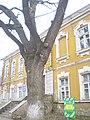 Пам'ятка природи - дуб по вул. Артилерійській, 38.JPG