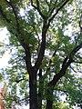 Самбірські дерева, по вул.Ів.Франка - panoramio.jpg
