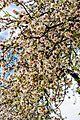 Цветение миндаля - panoramio.jpg
