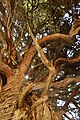 درخت ارس-طبیعت نیریز-عکاس روحاله یگانه.jpg