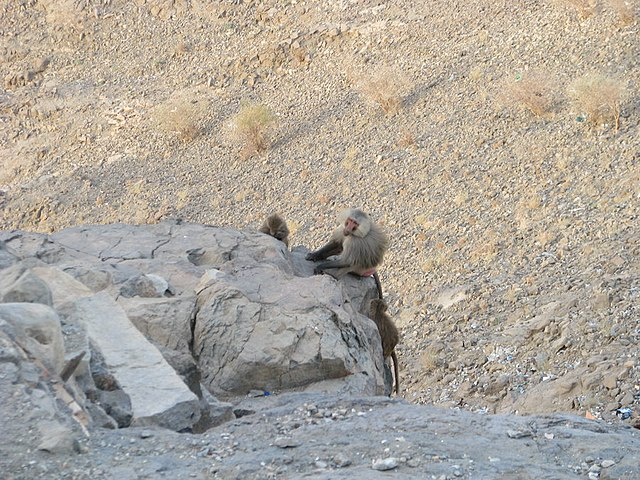 File میمون های نزدیک غار حراء جبل النور Panoramio Jpg