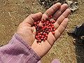 गुंज (बिया), औषधी वनस्पती, वीरपुर, नंदुरबार Gunj, Medicinal plant Veerpur, Nandurbar (Abrus precatorius).jpg