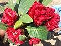 लाली गुराँस फूल Rododrendron 03.jpg