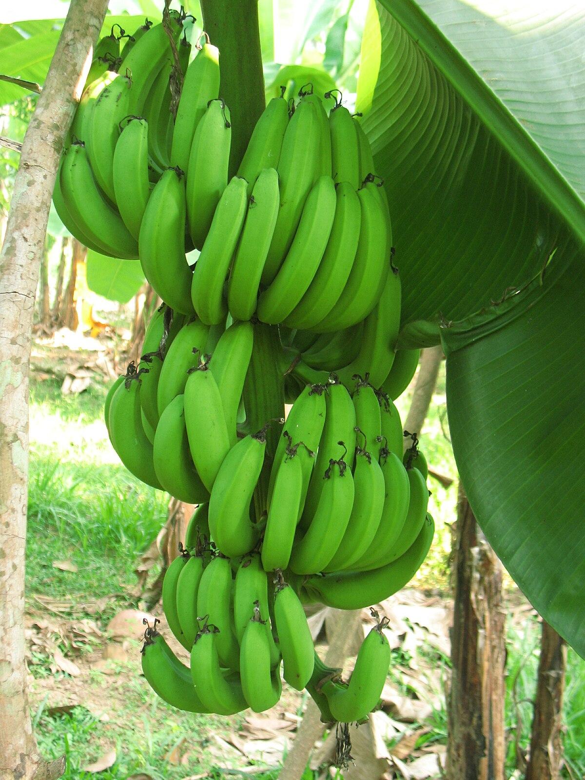 Pianta Di Banana Foto farina di banane - wikipedia