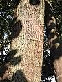 サヤインゲンみたいな実のなる木-樹皮 - panoramio.jpg