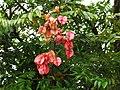 台灣欒樹蒴果 Capsules of Koelreuteria paniculata - panoramio.jpg