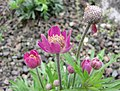 多裂銀蓮花 Anemone multifida -比利時 Ghent University Botanical Garden, Belgium- (9171282463).jpg