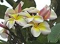 小花雞蛋花 Plumeria obtusifolia -香港迪士尼樂園 Hong Kong Disneyland- (9255174368).jpg