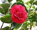山茶花-重瓣銀蓮花型 Camellia japonica Double - Anemone Form -日本京都植物園 Kyoto Botanical Garden, Japan- (9207617926).jpg