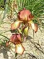 德國鳶尾-高大型 Iris germanica Flamenco -英格蘭 Wisley Gardens, England- (9255187636).jpg