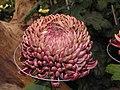 日本厚物菊-國華煌然 Chrysanthemum morifolium Japanese-spoon-series -台北士林官邸 Taipei, Taiwan- (9207616962).jpg