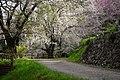 桜地区の桜 - panoramio.jpg