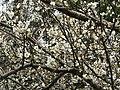 梅 Prumus mume - panoramio.jpg