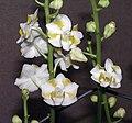 白花朵麗蘭(白花五唇蘭) Doritis pulcherrima v alba -香港沙田國蘭展 Shatin Orchid Show, Hong Kong- (9237374895).jpg