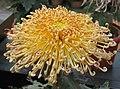 菊花-仙靈芝 Chrysanthemum morifolium 'Celestial Herb' -中山小欖菊花會 Xiaolan Chrysanthemum Show, China- (11962005826).jpg