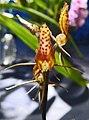 蓬萊隱柱蘭 Cryptostylis taiwaniana -香港蘭花節 Hong Kong Orchid Festival- (40806751834).jpg