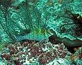 0101RajaAmpatS - 67 resting hawkfish (5555622215).jpg