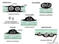 04 03 42 cuerpos fructíferos, Phyllachorales, Ascomycota (M. Piepenbring).png