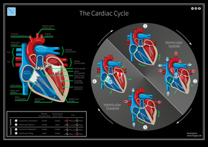 Cardiac cycle - The Cardiac Cycle: Valve Position, Blood Flow, and ECG.