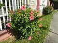 0985jfHibiscus rosa sinensis Linn White Pinkfvf 23.jpg