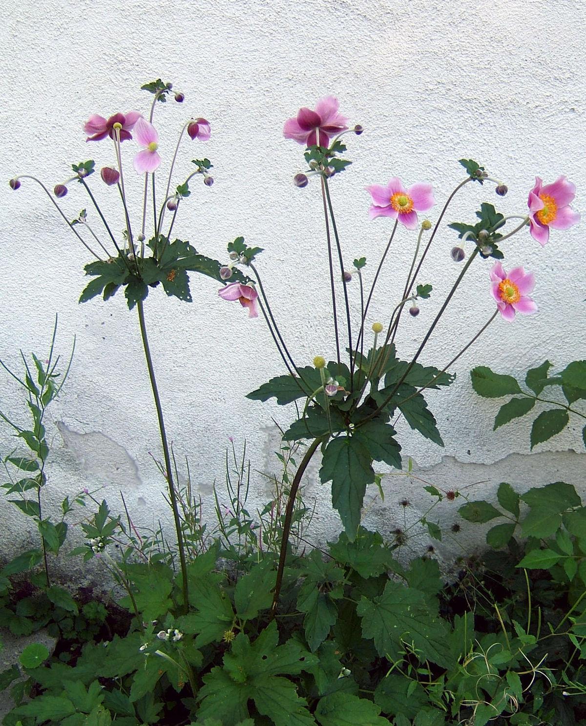 herbst anemone wikipedia