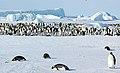 2007 Snow-Hill-Island Luyten-De-Hauwere-Emperor-Penguin-12.jpg