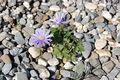 2007 anemone blanda.jpg